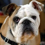 Best Dog Shampoo For Bulldogs