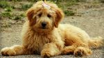 Goldendoodle Names